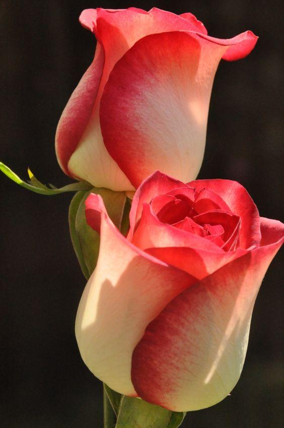 роза цветя значение