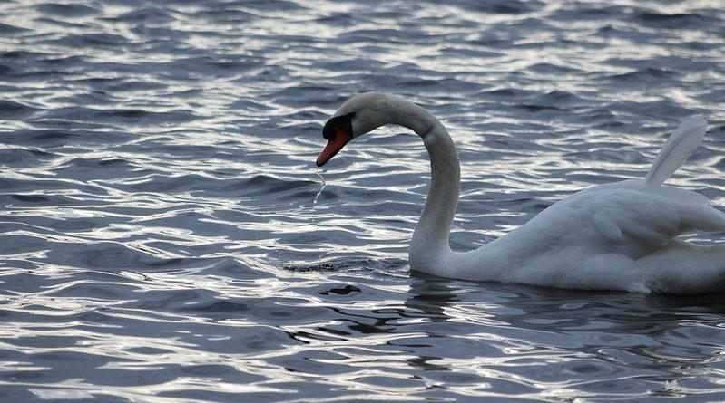 Лебед и езеро